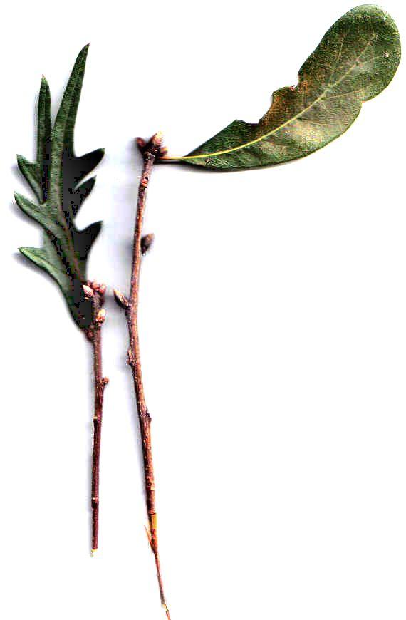 oak leaf and buds