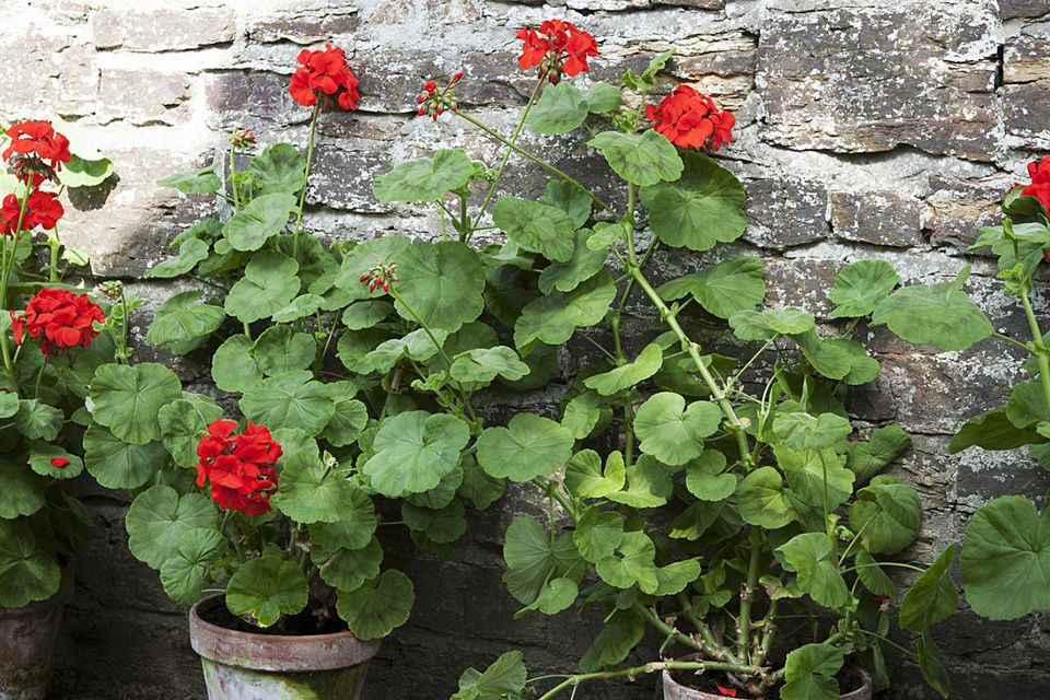 Geranium in pots against stone wall