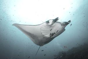 a manta ray