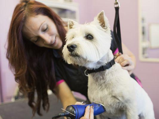 Dog groomer shaving West Highland Terrier