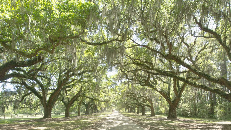USA, South Carolina, Mount Pleasant, Treelined road