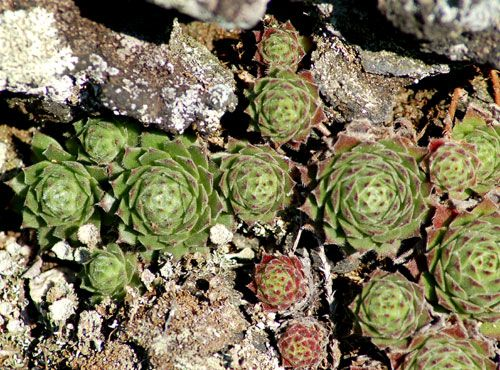 This hen and chicks picture is of Sempervivum 'Yancha Mizu'. There are many types of hen and chicks.