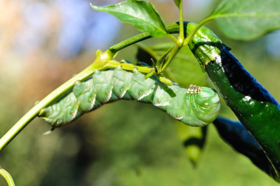 Pests can destroy your garden