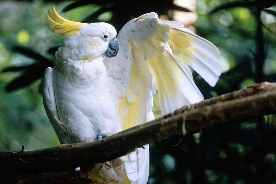 A sulphur-crested cockatoo in a tree