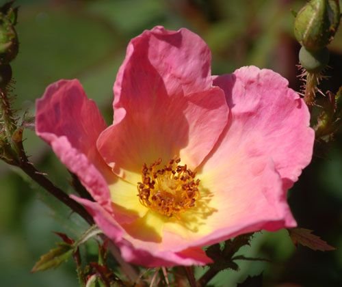 "Picture of a coral-pink rose. ""Rainbow Knock Out"" is a single-blooming coral color rose."