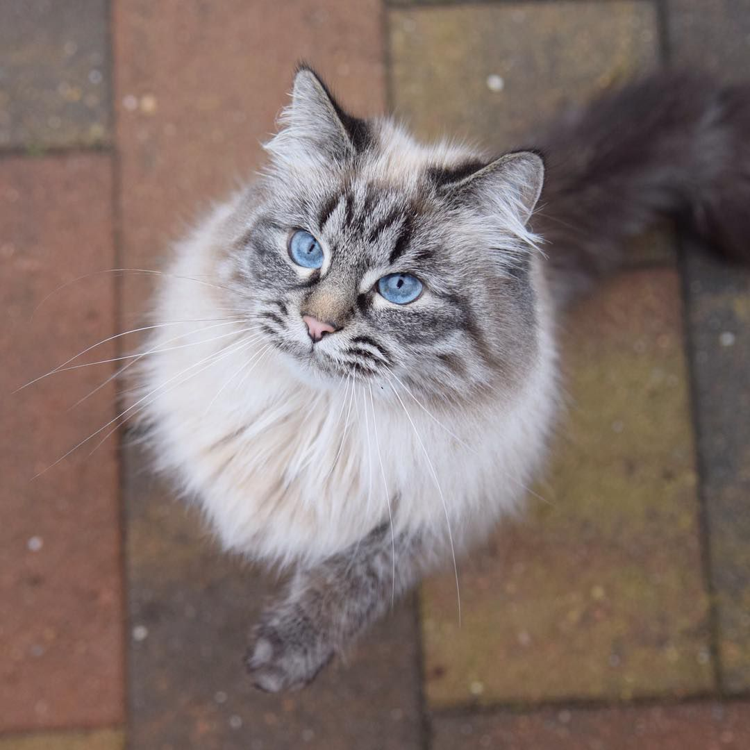 Best Food For Himalayan Cat