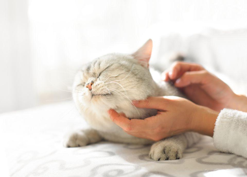 Scratching head of grey fat cat lying on sofa