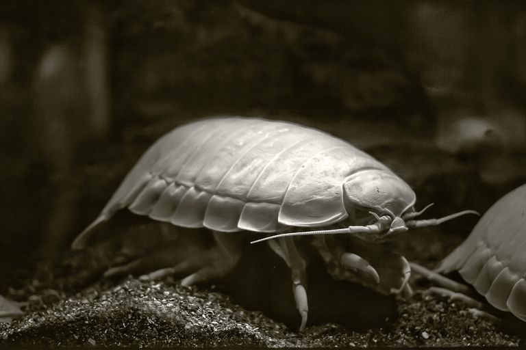 The Geogian speekle is an extremely large isopod, which is a type of aquatic crustacean.