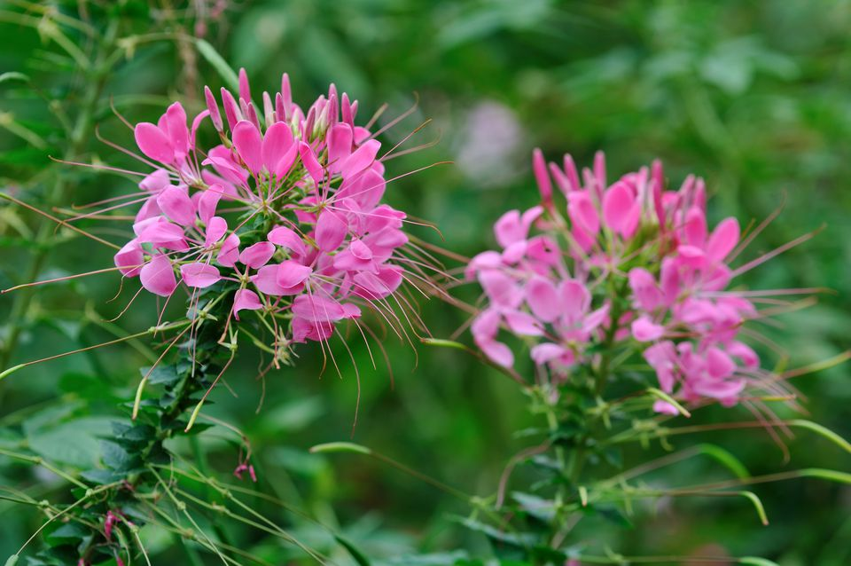Cleome or Spider Flower (Cleome hassleriana)