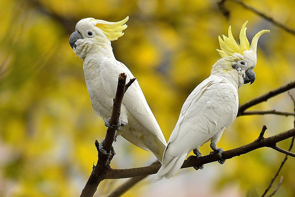 Cockatoo Pair With Crest Raised