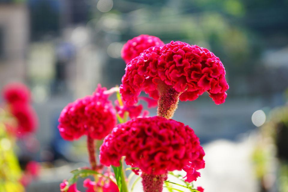 Celosia Flowers Offer Plumes Feathers And Blooms