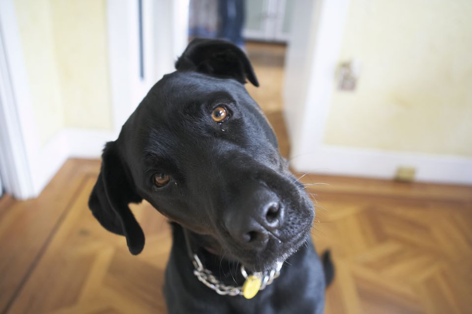 Black Lab dog with head tilt