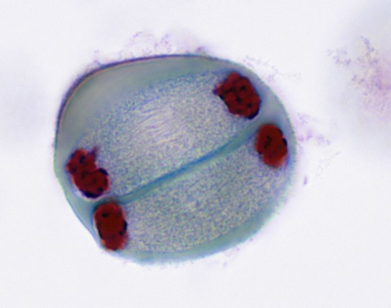 MEIOSIS 2, TELOPHASE (2nd Division), Lilium (Lily), 400X at 35mm