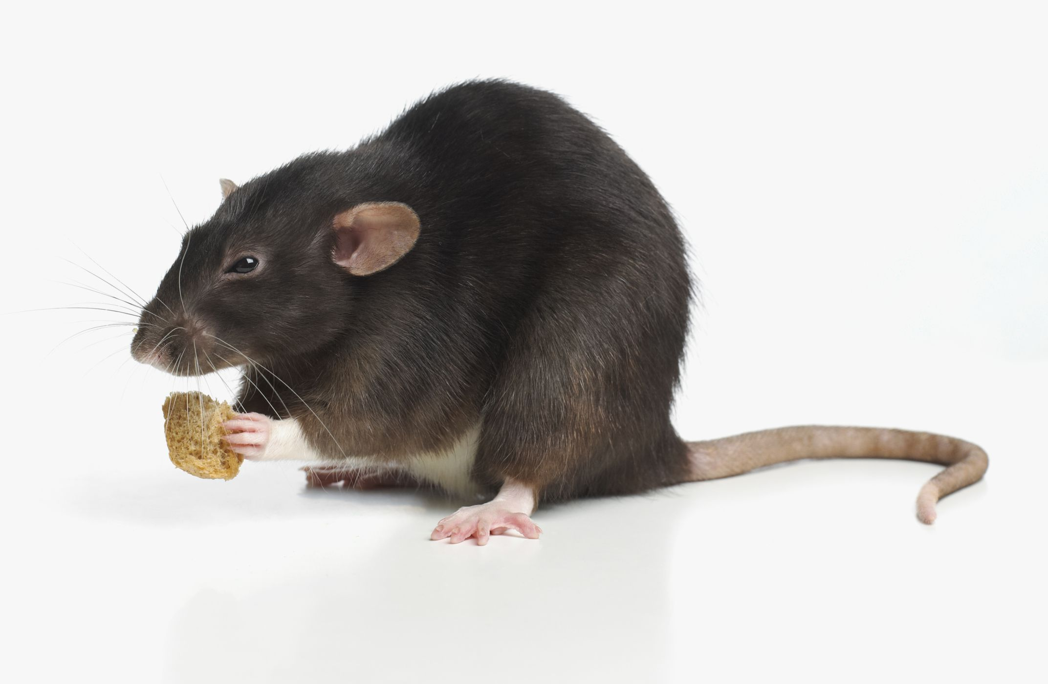 Mice Eating Cat Food