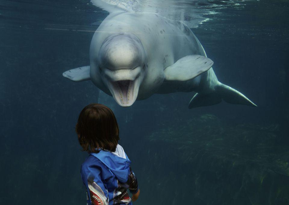Beluga whale at Mystic Aquarium