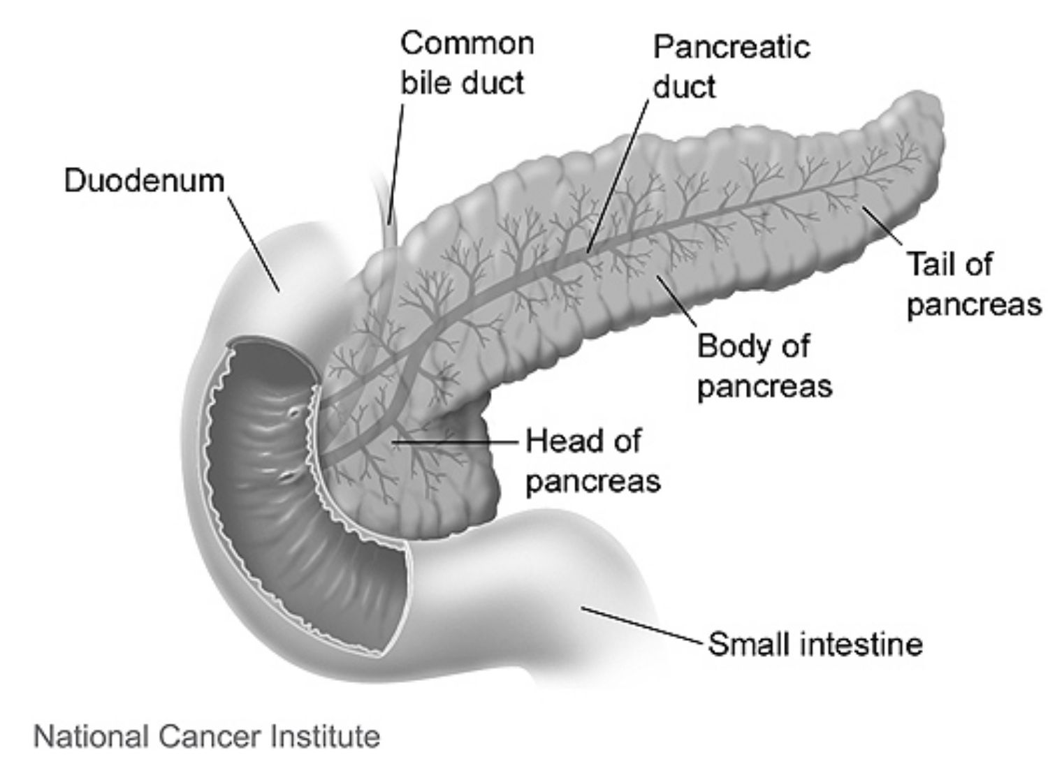 Pancreas Anatomy and Function