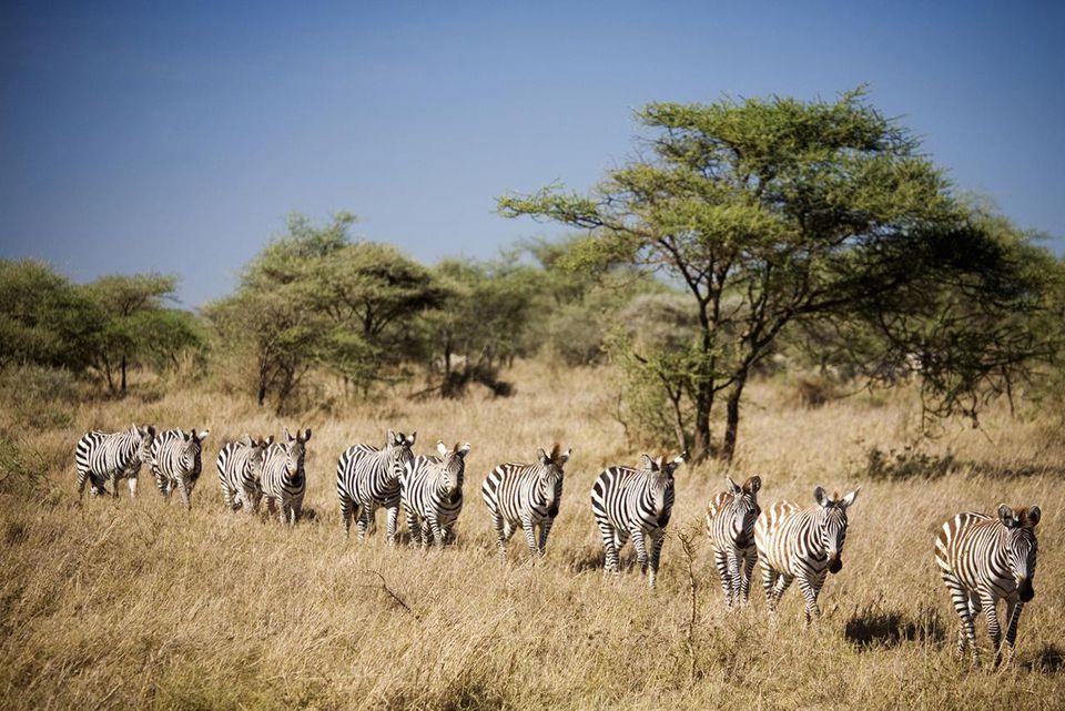 Migrating zebra, Tanzania