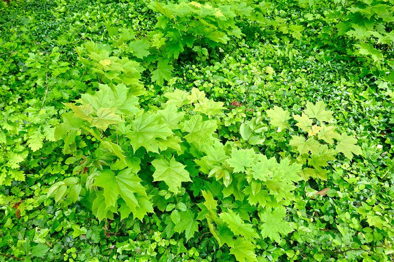 High Angle View Of Norway Maple Leaves.