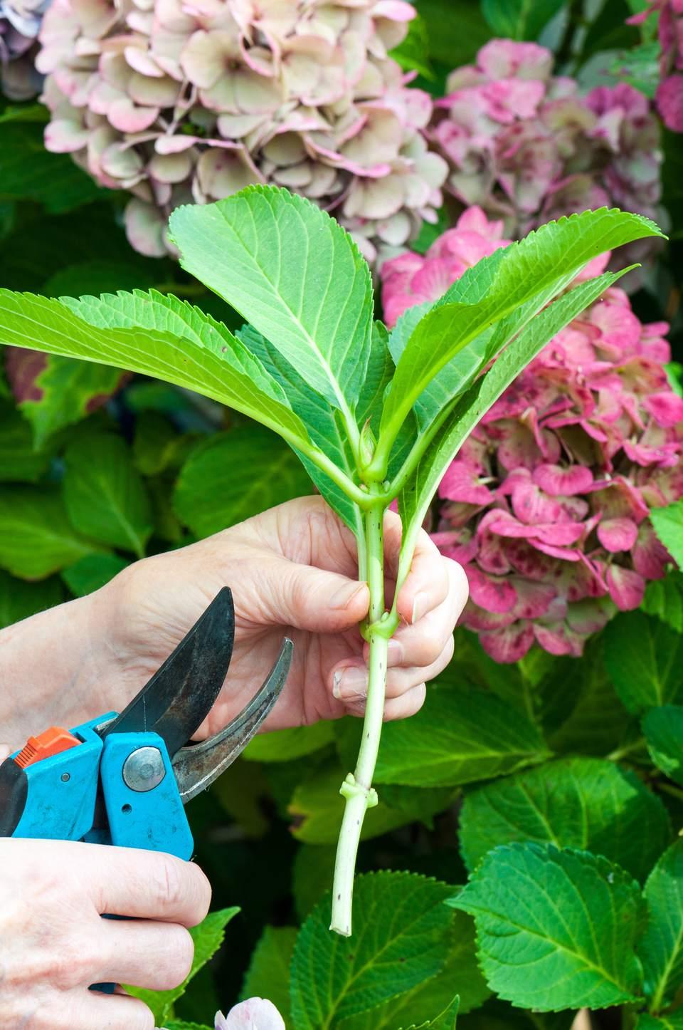 how to take hydrangea cuttings nz