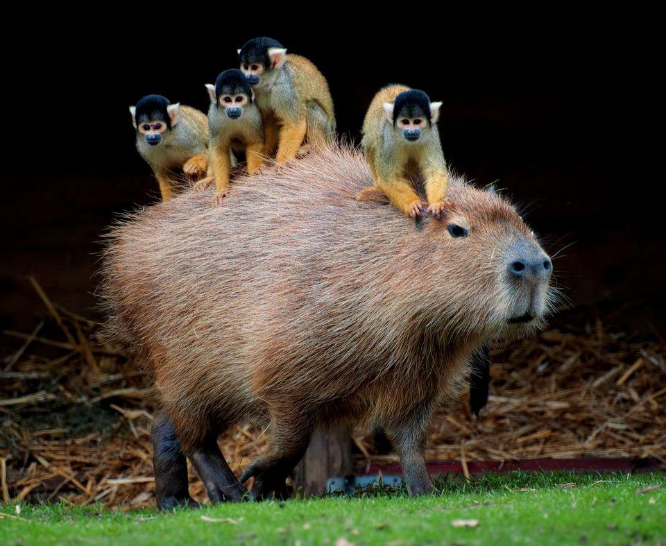 Capybara and spider monkeys