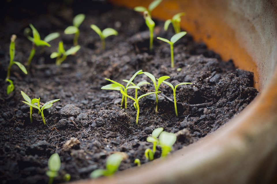Sprouted Seedlings