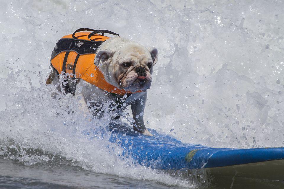 Loews Coronado Bay Resort Surf Dog Competition