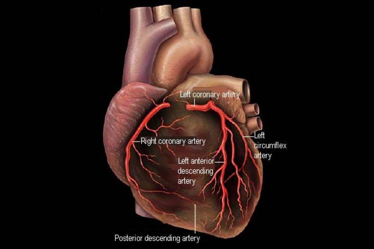 Coronary artery branches anatomy