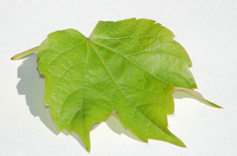 Boston ivy leaf (image) is green in the summer. It's reddish in fall and spring.