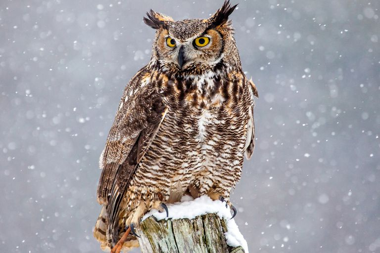 Image result for great horned owl