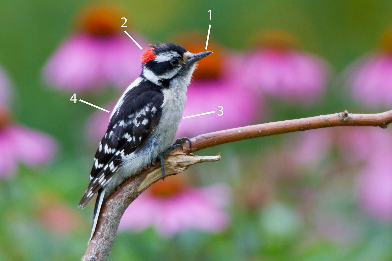 Male Downy Woodpecker Identification