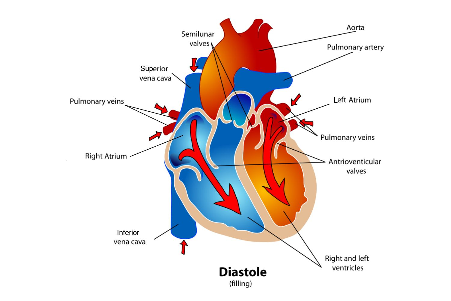 Phases of the cardiac cycle when the heart beats pooptronica