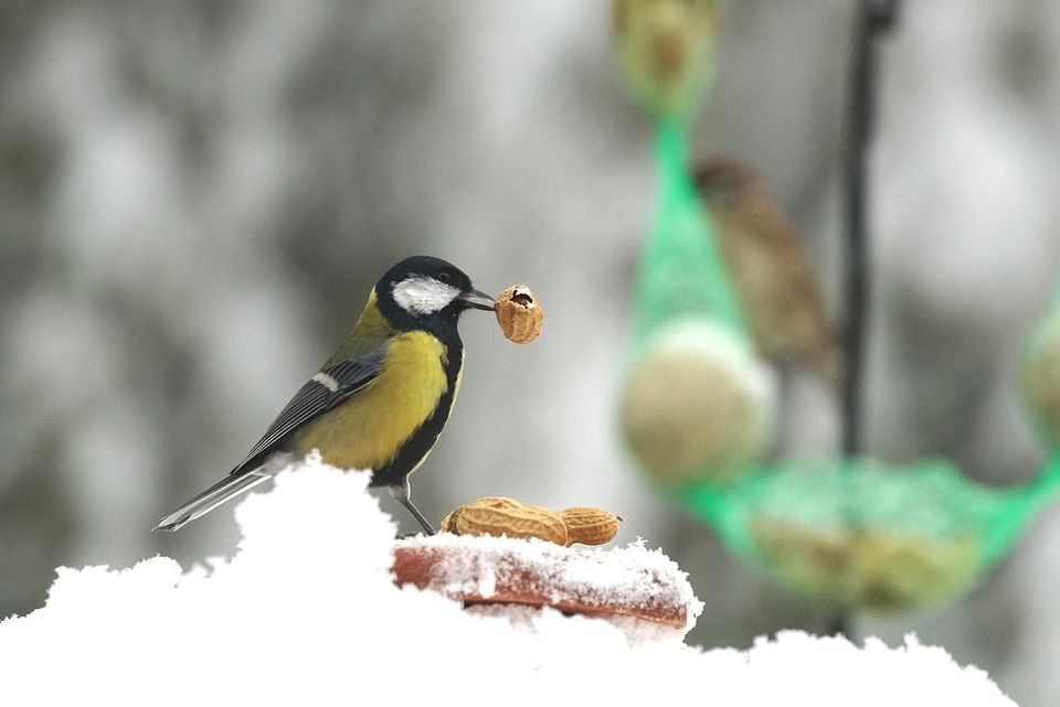 Close-Up Of Great Tit Eating Peanut By Snow