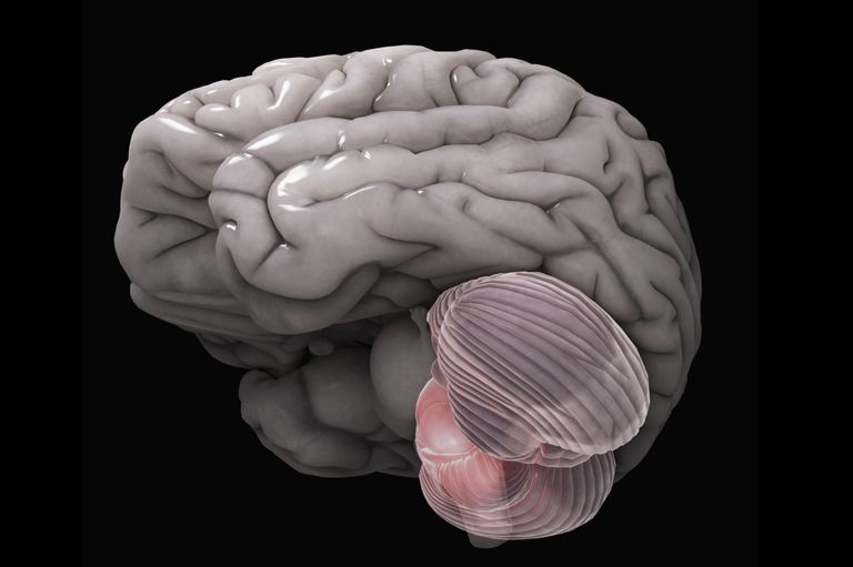 Anatomy of the brain cerebellum function ccuart Choice Image
