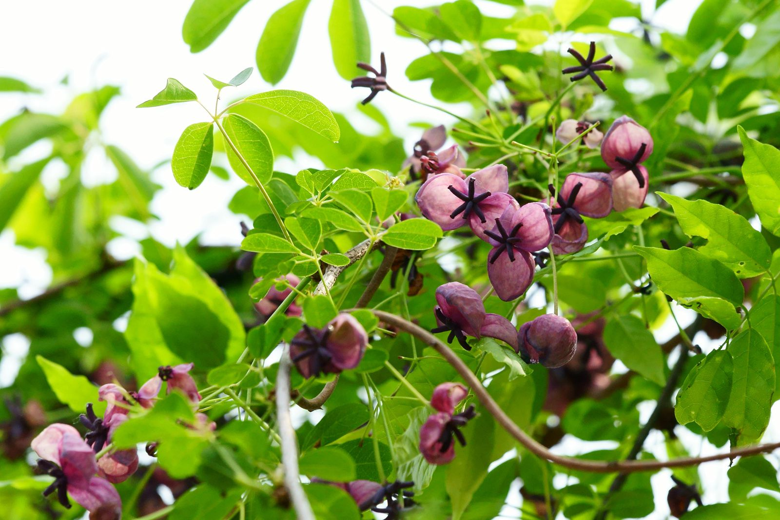 Top 6 strongest perennial flowering vines dhlflorist Images