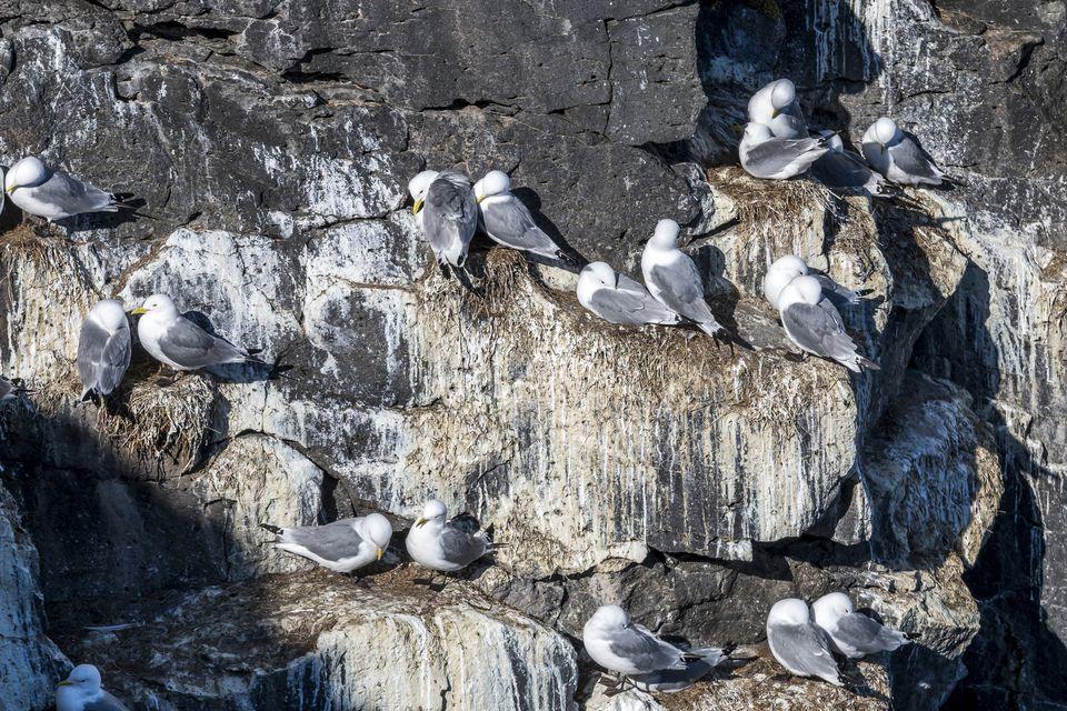 Black-legged Birds Roosting on their Rocky Home