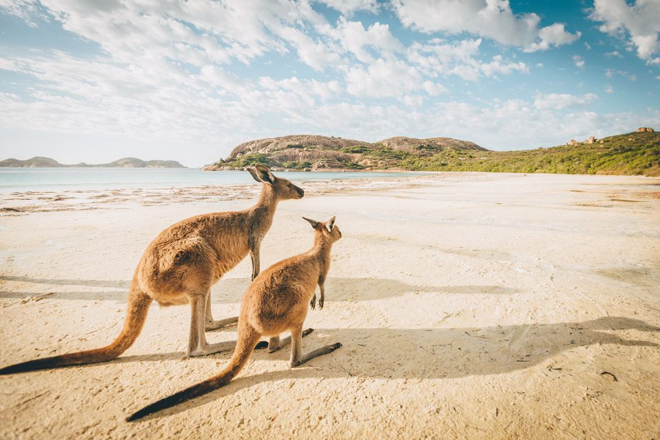 Kangaroos on Australian beach