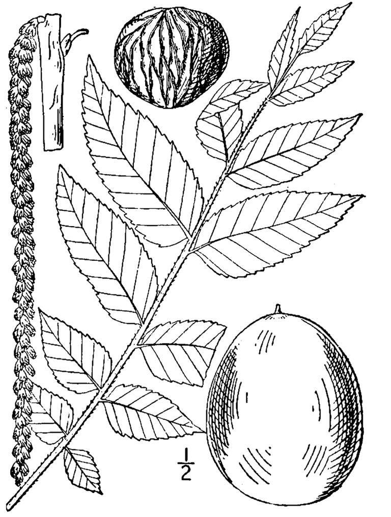 black walnut leaves and nuts