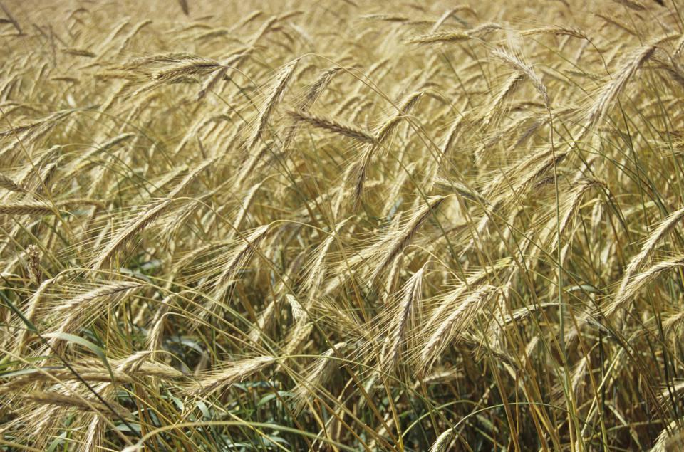 Rye cover crop, Portage La Prairie, Manitoba, Canada.