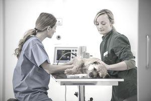 Veterinary technician giving a dog an ultrasound.