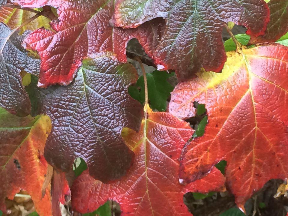 Fall foliage of oakleaf hydrangea shrubs.