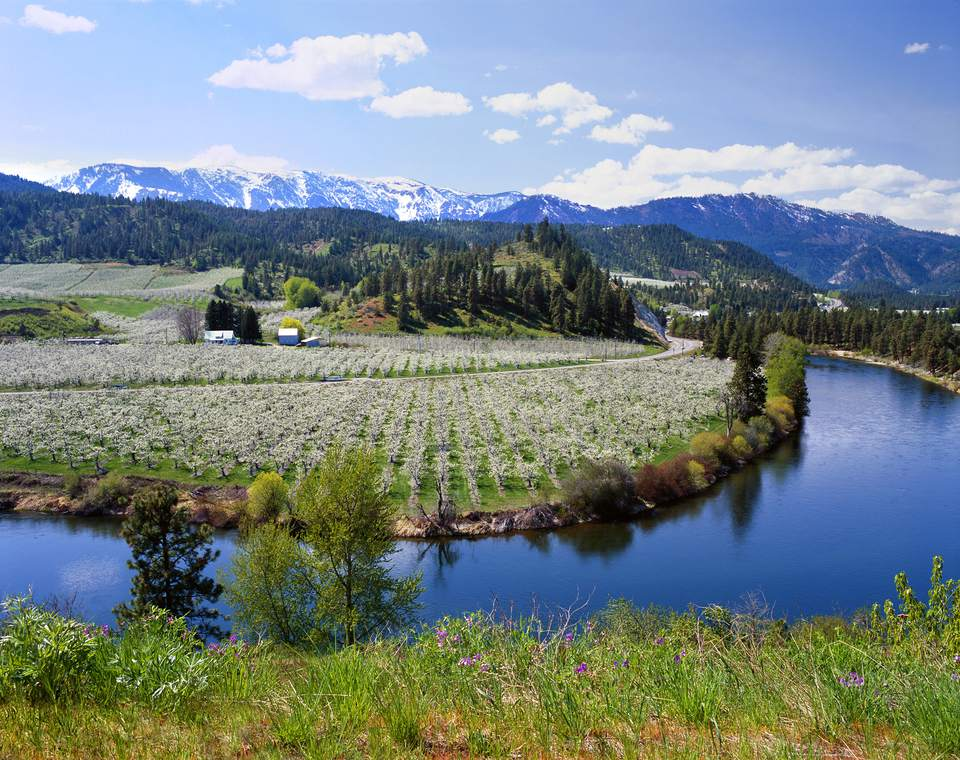 Apple orchard in spring bloom along Washington's Wenatchee River