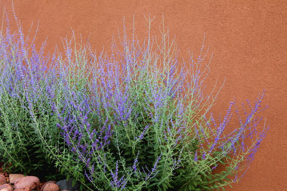 Russian sage in bloom against an adobe wall.