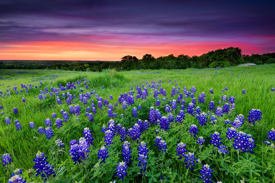 Bluebonnets in Texas hill country