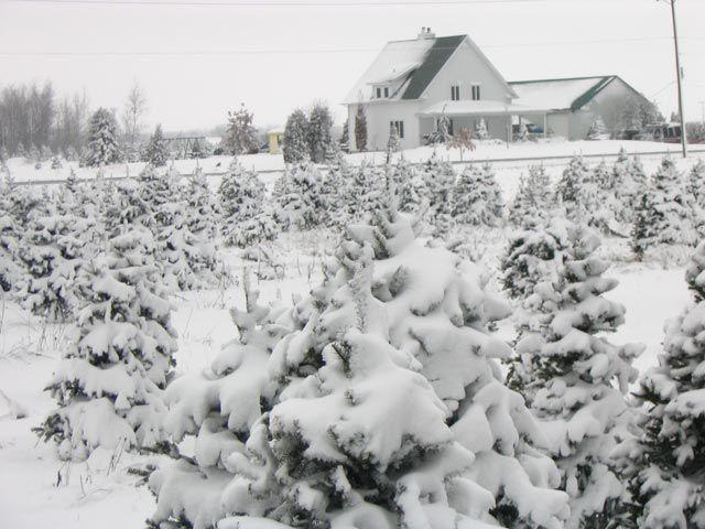 montreal christmas trees 2017 pick your own farm sapins de noel auto cueillette sapiniere plantation