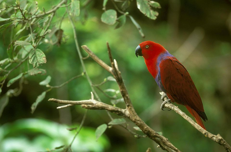 Eclectus parrot eclectus roratus male. ranges from indonesia to new guinea & australia