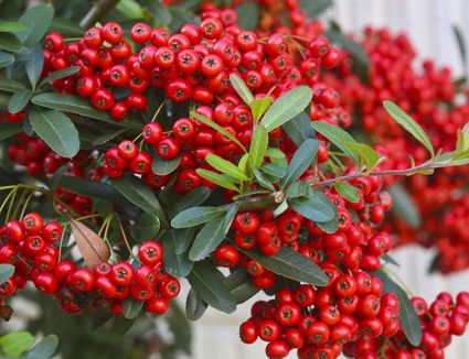 Common Backyard Plants That Are Poisonous to Dogs