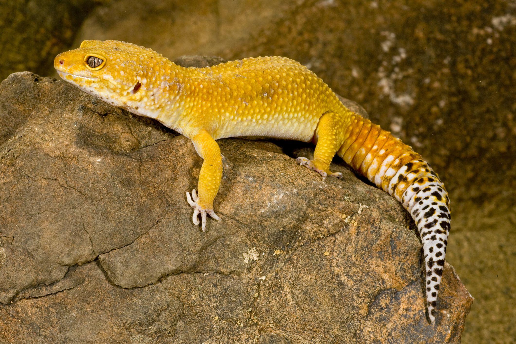Leopard gecko armpits fat leopard geckos what colors do leopard geckos come in nvjuhfo Images