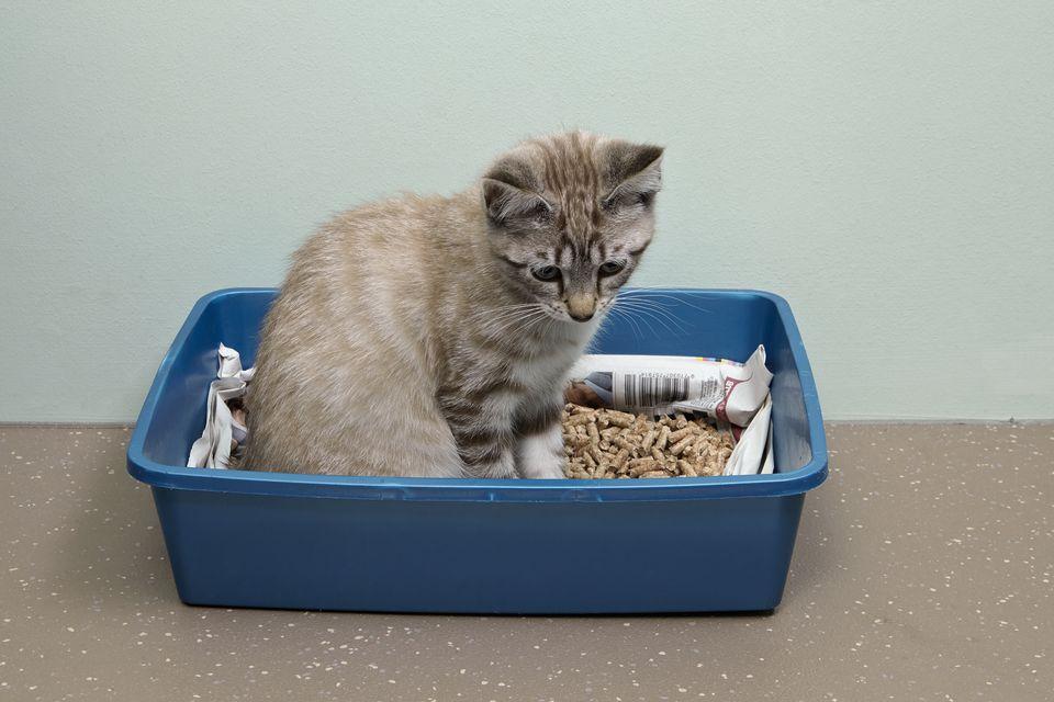 Kitten in litter tray, female, 14-week-old