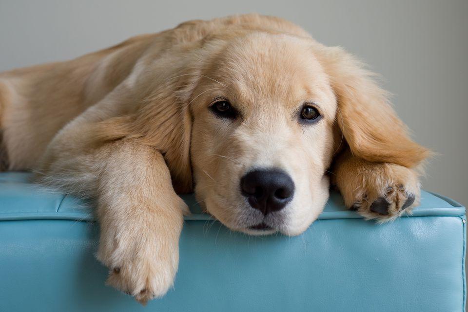 Hot Spot Treatment A Golden Retriever Dog