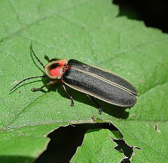 Viewed from above, the firefly's head is obscured by a shield-like pronotum.